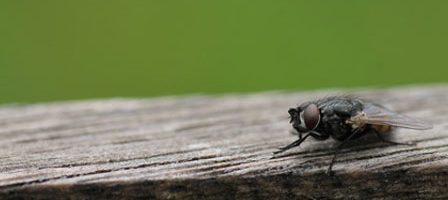 Plaga de mosca