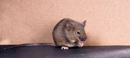 raton_comun