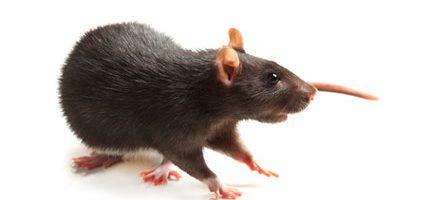 raton_negra